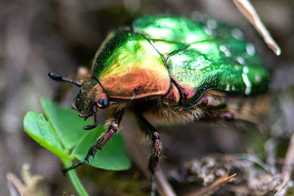 Blühflächen statt reines Ackerland: Das kommt der Insektenwelt zugute. Mit der Übernahme einer Patenschaft für Blühstreifen, kann jede/r einen Beitrag leisten. (Foto: Wolfgang Scheu)