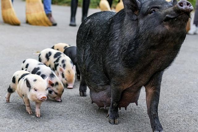 Spaziergang der Minischweine