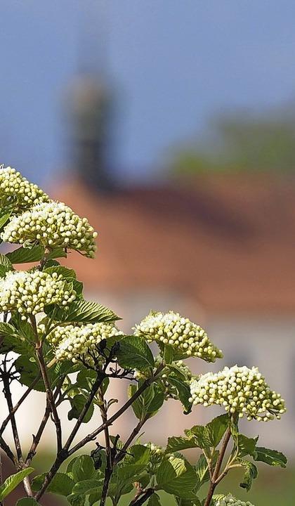 Hinter den Blüten erscheint die Ohmenkapelle.  | Foto: Susanne Gilg