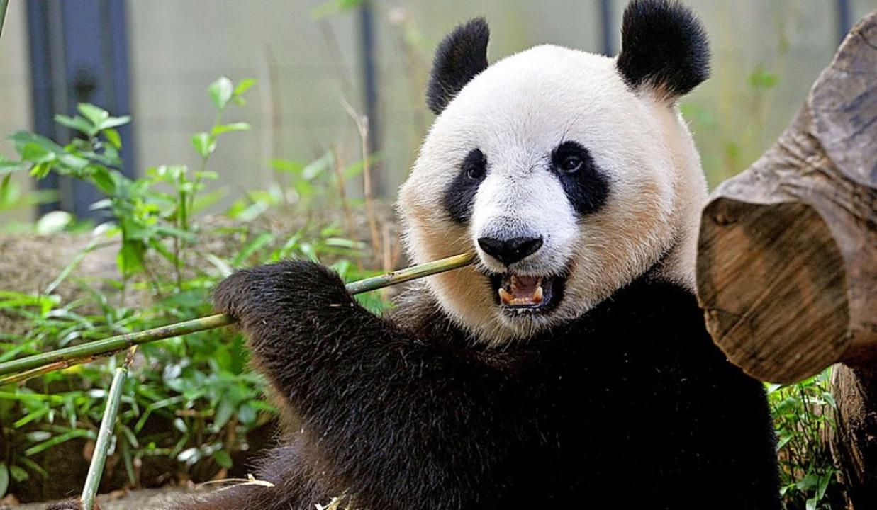 Der Panda ist das Symboltier des WWF.   | Foto: AFP
