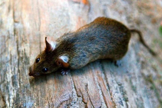 Rollige Ratten tummeln sich im Kanal in Seelbach