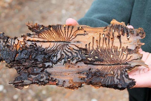 Suche nach dem rieselnden Holzmehl