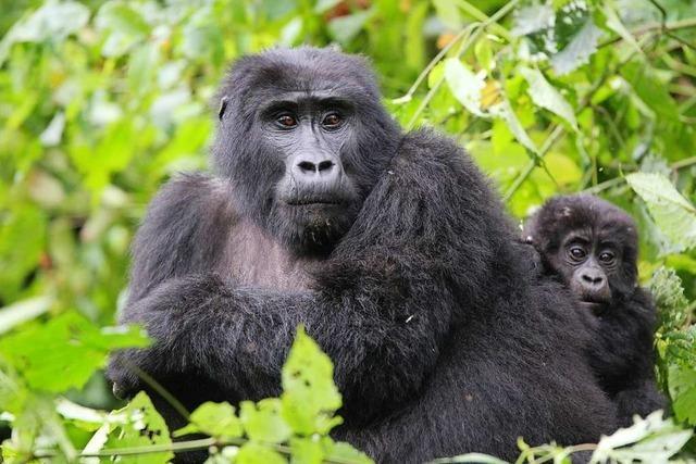Für Afrikas Berggorillas ist der Tourismus die einzige Überlebenschance