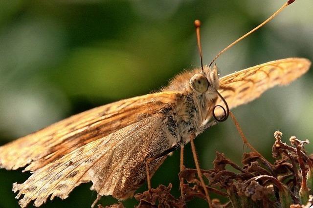 Das Schmetterlingssterben schreitet voran