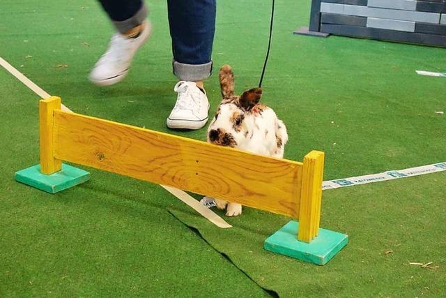 Beim Kaninhop-Turnier in Schopfheim-Fahrnau müssen Hasen über Hindernisse springen