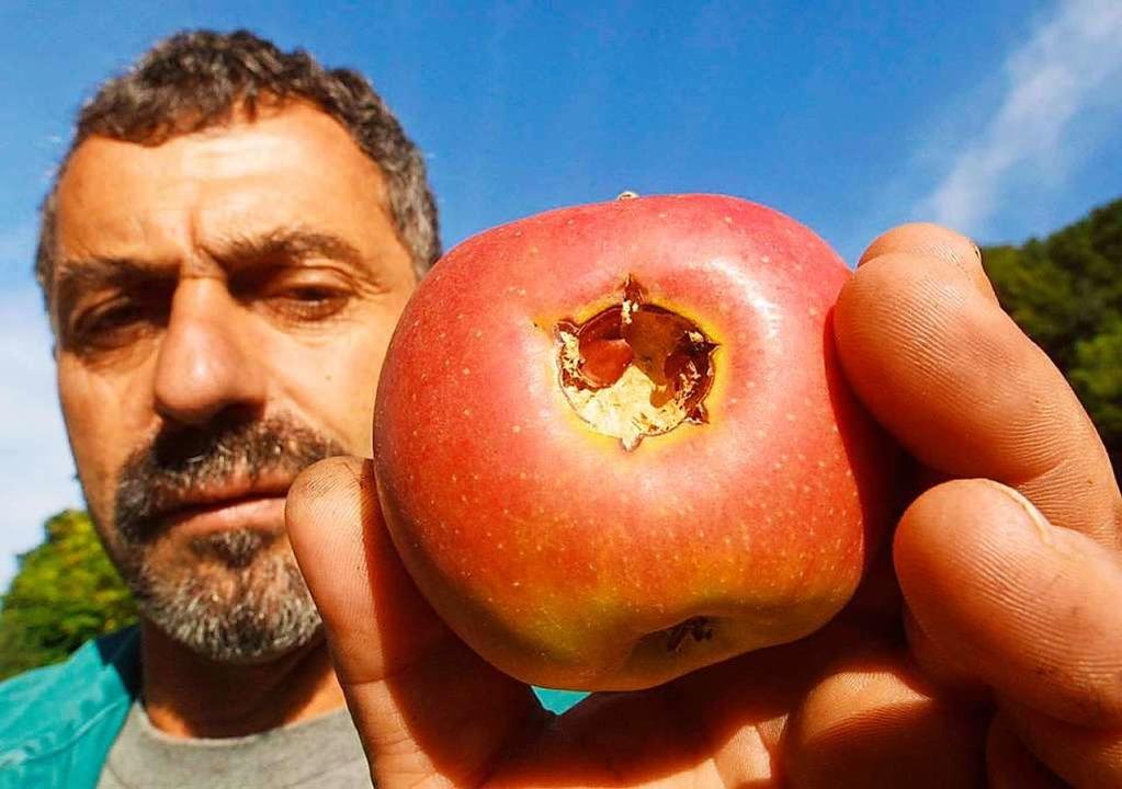 Bodensee-Obst mit Hagelschaden  | Foto: Patrick_Seeger
