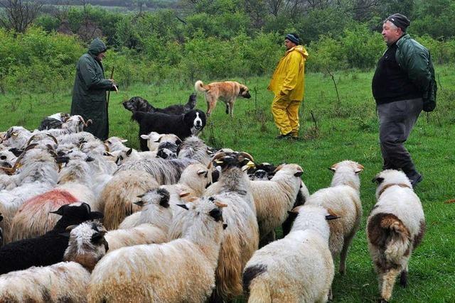 Aus dem Landtag nach Rumänien: Wo der Wolfsriss zum Alltag gehört