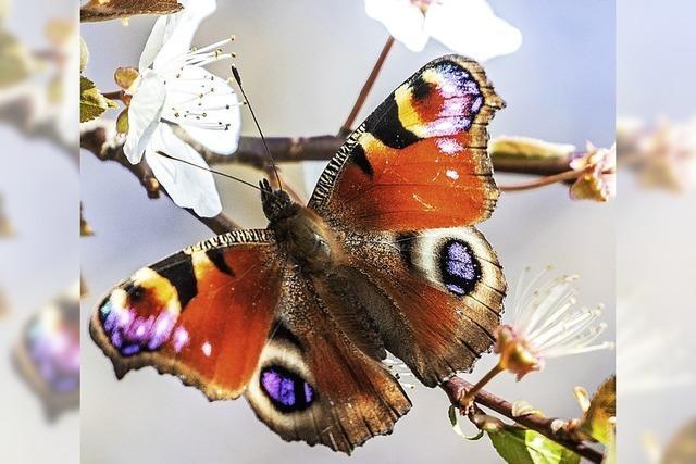 Insektenschwund - Fakten, Ursachen, Perspektive in Lenzkirch