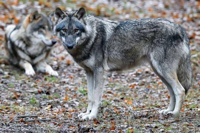 Bürgerinitiative aus Weitenau kämpft gegen den Wolf