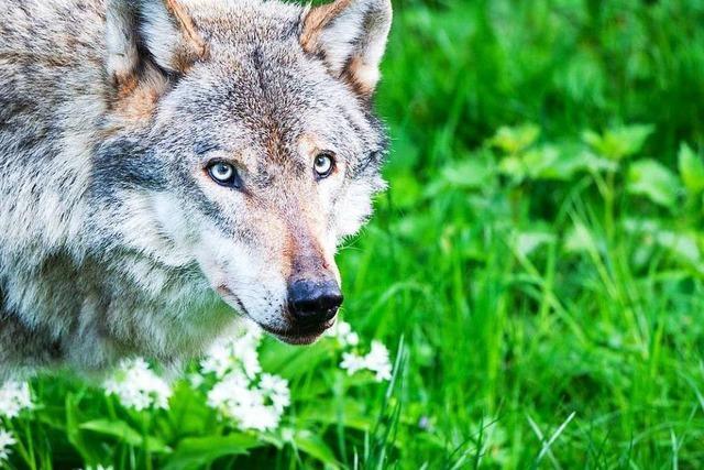 Ganz schön gerissen, wie eine Bürgerinitiative Stimmung gegen den Wolf macht