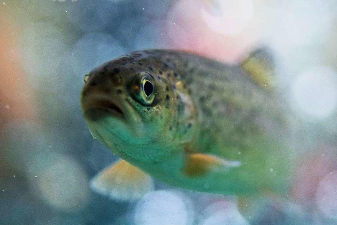 Erklärtes Ziel der Fischtreppe ist,   ...der Schutter anzusiedeln (Symbolbild).  | Foto: dpa