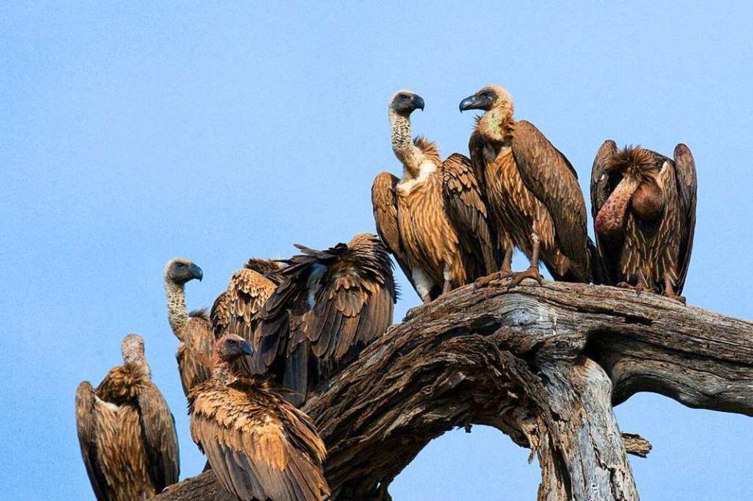 Von ihrem Ausguck spähen die Geier nac...Kilometern Entfernung erkennen können.  | Foto: gudkovandrey - stock.adobe.com