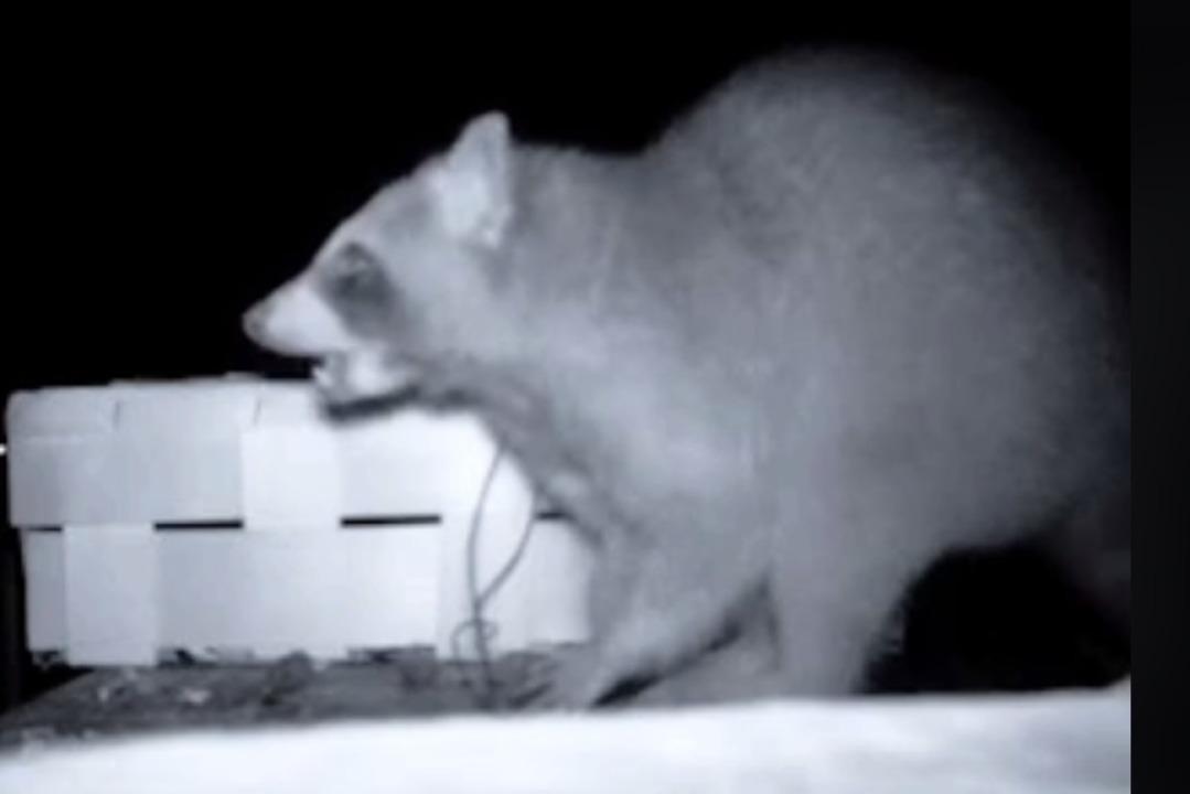 In Kaiseraugst gefilmt: Im Kraftwerkss...dieser Waschbär nach Essbarem gesucht.  | Foto: Screenshot