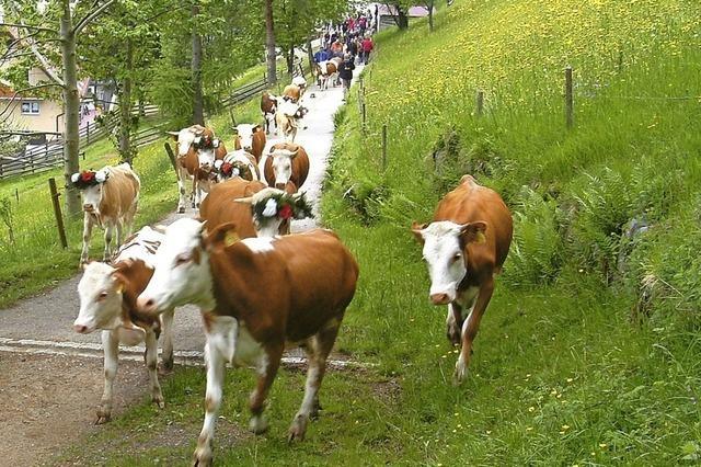 Jungviehauftrieb in Wieden