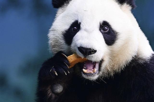 Gesichtskontrolle für Pandas