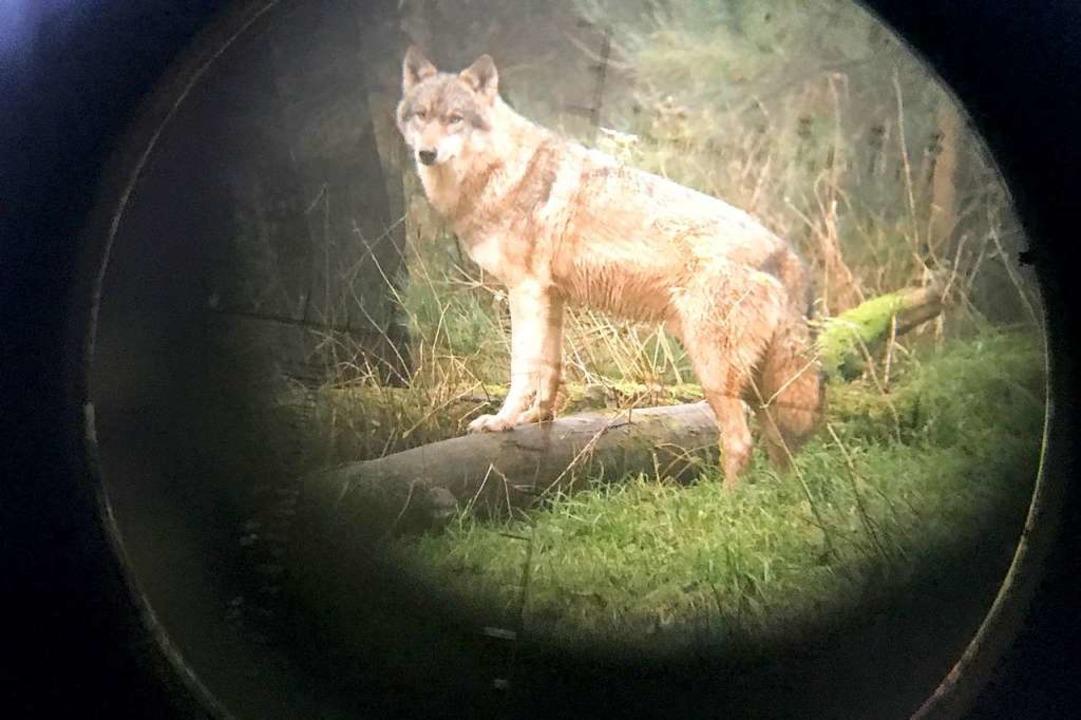 Wenn Wölfe Schafe oder andere Nutztier...r Rudel durch Abschuss zu verkleinern.    Foto: Carsten Rehder (dpa)