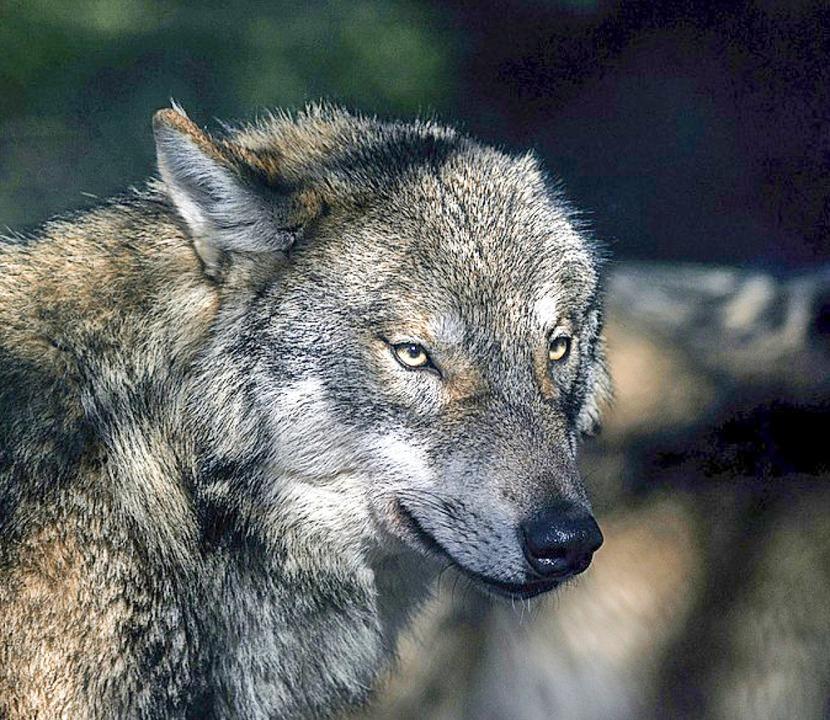Die Angst vor dem Wolf geht um.    Foto: Klaus-Dietmar Gabbert (dpa)
