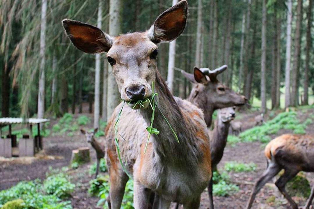 Ein neugieriges Rotwild im Wildgehege in Bad Säckingen  | Foto: Vanessa Dai