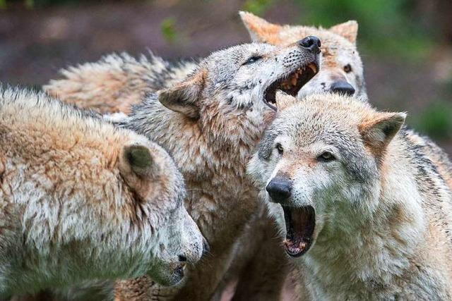 Töten von Wölfen wird einfacher - der Zoff geht aber weiter