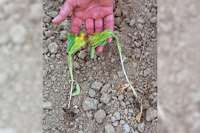 Saatkrähen rupfen in Lahr 45.000 Tabaksetzlinge aus dem Boden