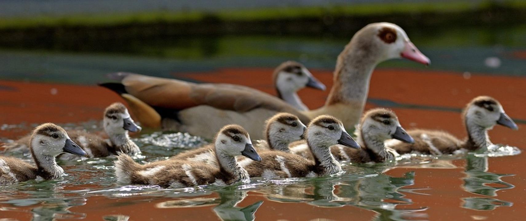 Eine Familie von Nilgänsen bei Weil am Rhein    | Foto: Raimund Kagerer