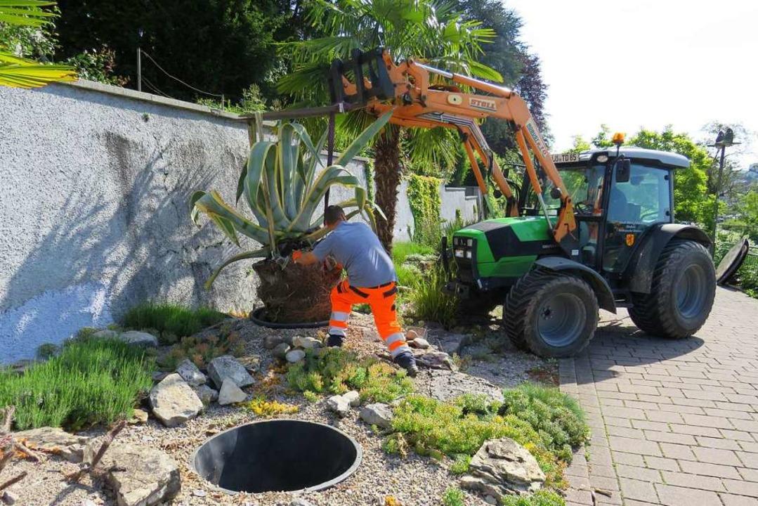 Die Agaven krönen das mediterrane Beet im Stadtgarten.  | Foto: Claudia Gempp