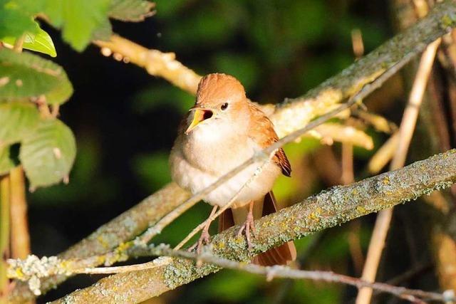 Wenn die Nachtigall im Naturschutzgebiet Rieselfeld singt