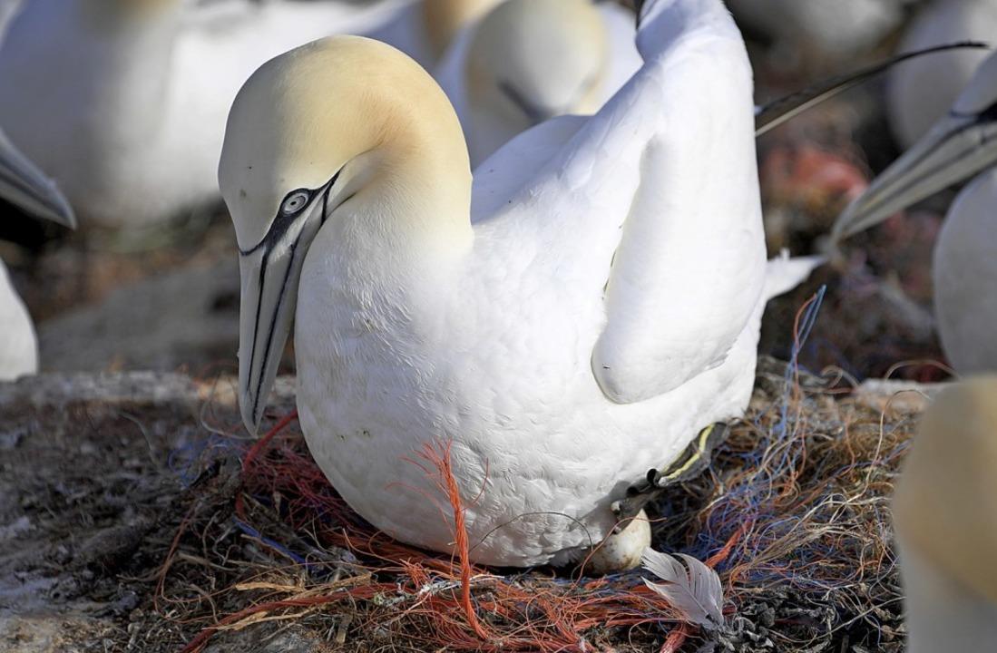 Ein Basstöpel in einem Nest mit Plastikresten   | Foto: Carsten Rehder (dpa)