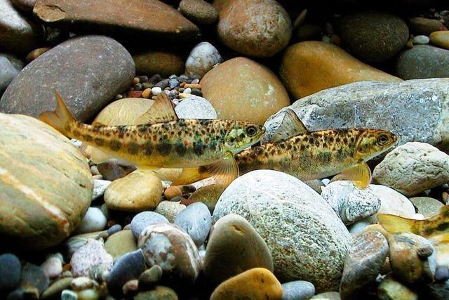 Engagement für das Lachs-Comeback