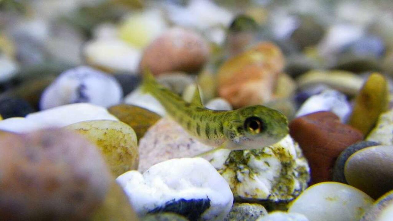 Ist nicht Nemo, sondern Lachso.   | Foto: Association Saumon-Rhin