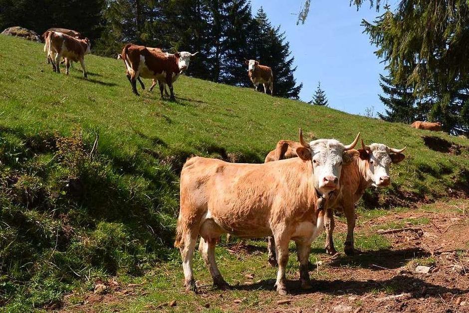 Dagmar und Harald Riesterer züchten auf dem Hansemichelhof die alte Rasse Hinterwälder Rinder. (Foto: Gabriele Hennicke)