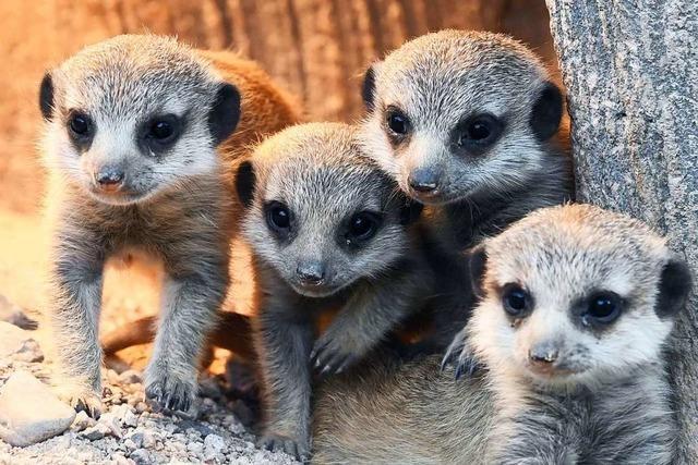 Süßer Nachwuchs bei Erdmännchen im Karlsruher Zoo