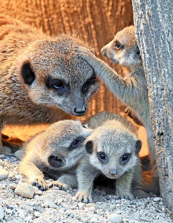 Süßer Nachwuchs bei Erdmännchen im Karlsruher Zoo  | Foto: Uli Deck (dpa)