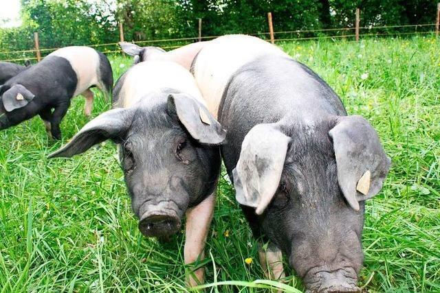 Kein Glück für die Schweine