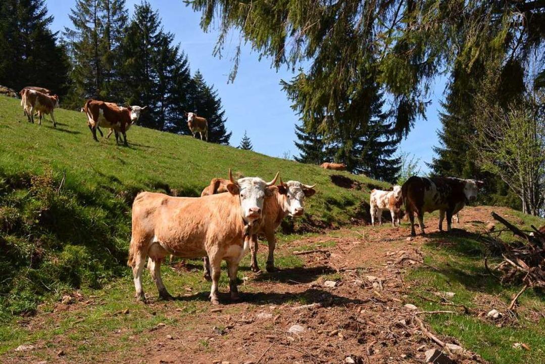 Gut angepasst: Hinterwälder Rinder füh...ch auf rund 1000 Meter Höhe sehr wohl.  | Foto: Gabriele Hennicke