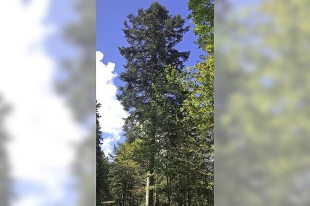 Ein Baum des Schwarzwalds