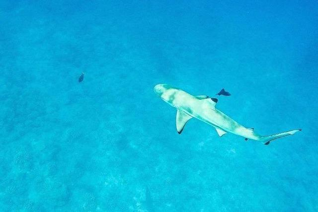 Sind Haie auch für Menschen gefährlich?