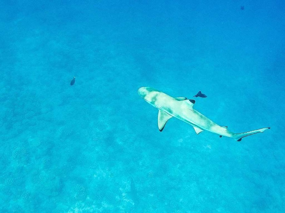 Ein Schwarzspitzenriffhai.   | Foto: Philipp Laage (dpa)