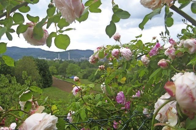 Willst Du rosa Rosen sehen ...