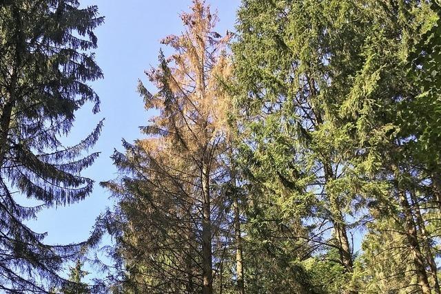 Die Borkenkäfer fliegen – Hauptschwärmflug im Wald hat begonnen