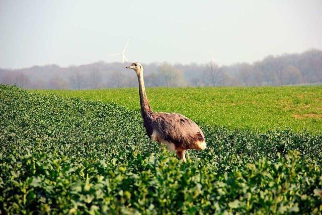 Am Fluss Wakenitz bei Lübeck kann man südamerikanische Laufvögel bestaunen
