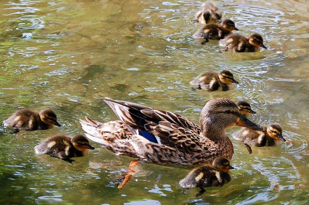 Ein Zaun versperrte einer Entenfamilie... Teich. Die Polizei half der Familie.     Foto: Petra Wunderle