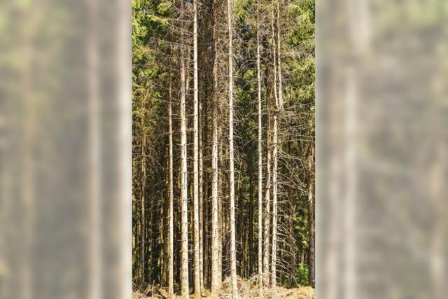 Käferinvasion bedroht Wald