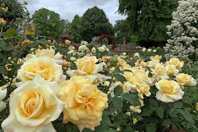 Rosengarten in herrlicher Blütenpracht