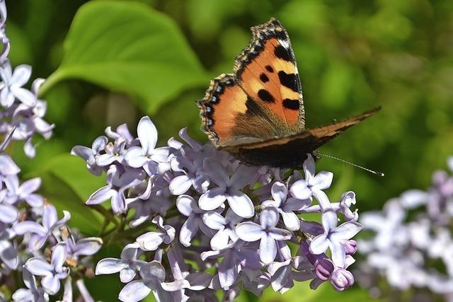 Blütenpracht lockt Schmetterlinge