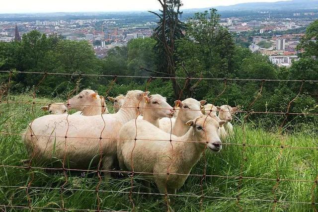 Wie eine Schafherde am Freiburger Schlossberg die Artenvielfalt stärken soll