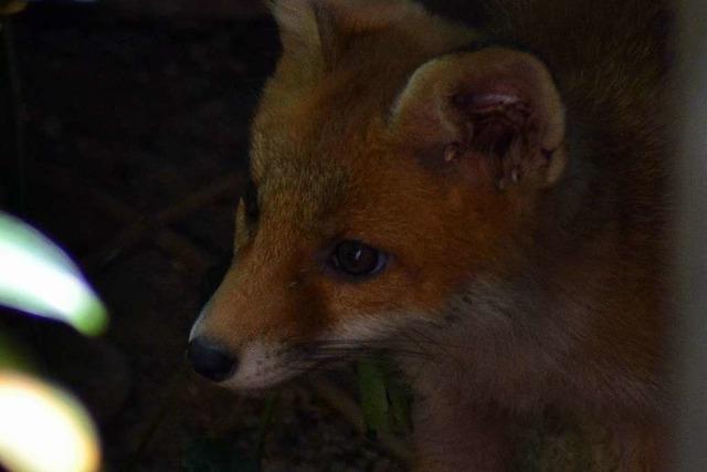 Dieses Fuchsjunge ist ein echtes Bobbele