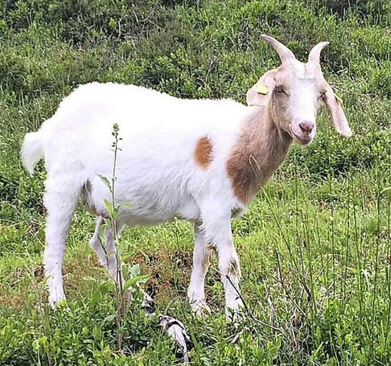 Ziegen spielen im Menzenschwander Tal eine große Rolle.   | Foto: Ute Rittel