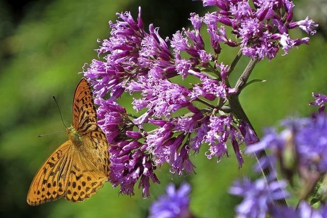 Zu den Schmetterlingen des Feldbergs