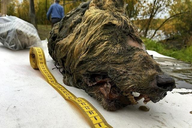 Wolf lag 32 000 Jahre im Permafrost